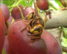 Wasp on grape - stock footage