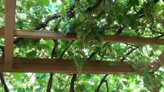 Grapevine canopy zoom in Stock Footage