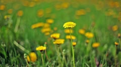 Dandelions among green grass, focus on flower at foreground Stock Footage