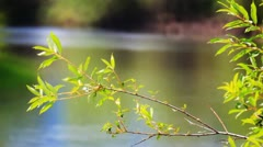 Branches and leaves of willow Stock Footage