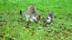 Cat with kitten eat outside Stock Footage