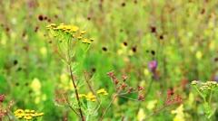 Field of burnet flowers Stock Footage