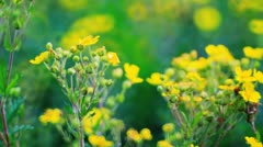 Vibrant yellow buttercup flowers on the meadow Stock Footage