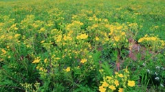 Vibrant yellow buttercup flowers on the meadow - stock footage