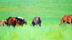 Horses grazing in the meadow - stock footage