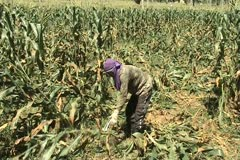 Man gather corn hays for feedstock Stock Footage
