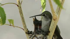 Hummingbird Mama Feeds Young Stock Footage