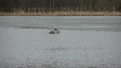 Canada Goose Copulating Stock Footage
