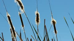 Cattail Silhouette Blue Sky Stock Footage
