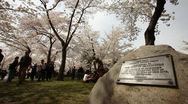 Cherry Blossom Festival DC Dolly Low Angle Stock Footage