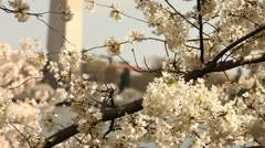 Washington Monument Cherry Blossom DC Tilt Background Stock Footage