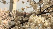 Washington Monument Cherry Blossom DC Tilt Background Stock Footage