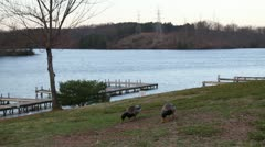 Mallards at Lake Wide Shot Stock Footage