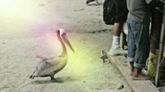 Pelican waiting for food Stock Footage