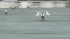 Swan trying to take off slow motion Stock Footage