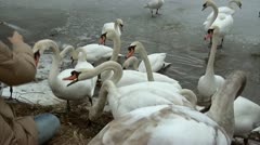 Feeding young swans Stock Footage