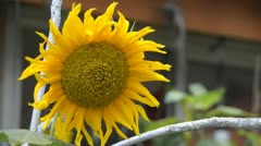 sunflower - stock footage