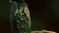Peacock feathers Stock Footage