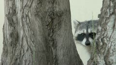 Raccoon in the middle of trees Stock Footage