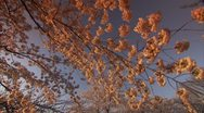 Cherry Blossom Festival DC Sunset Pan Stock Footage