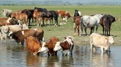 Farm animals on river spring scene Stock Footage