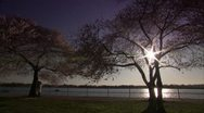 Cherry Blossom Festival DC Sunset Through Trees Pan Stock Footage