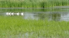 Geese family swimming spring scene Stock Footage