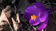 Crocus Stock Footage