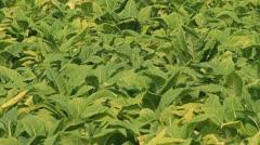 Tobacco farm. Stock Footage