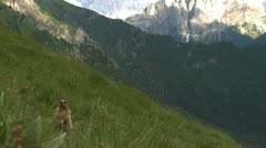 Alpine marmot Stock Footage