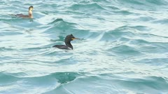 Herons hunting in the sea Stock Footage