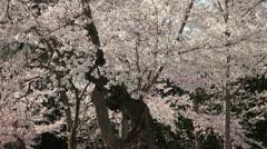 Cherry Blossom Festival DC Tilt Stock Footage