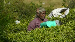 Female tea-picker in Munnar, India Stock Footage