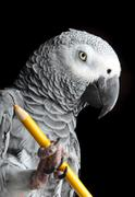 Stock Photo of parrot holding pencil