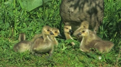 Canada Goose bird with chicks Stock Footage