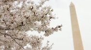 Washington Monument Cherry Blossom DC Focus Stock Footage