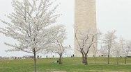 Washington Monument Cherry Blossom Stock Footage