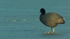 Common Coot Stock Footage