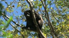 Black Howler Monkey Stock Footage
