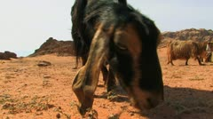 Goat Eats Stock Footage