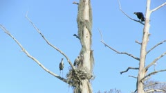 Heron nest and buzzards Stock Footage