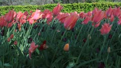 Pink tulips at the Keukenhof, Lisse, Holland Stock Footage