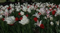 Red and white tulips at the Keukenhof, Lisse, Holland Stock Footage