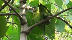 Parakeets / Budgies Stock Footage