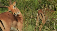 African Gazelle Itchy Back GFHD Stock Footage