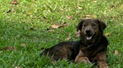 Dog relaxing in grass in the shade Stock Footage