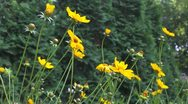 Yellow flowers wiggling Stock Footage
