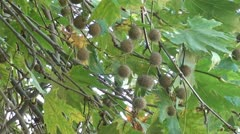 Seedballs and leaves of plane tree Stock Footage