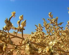 Wadi Rum desert. Prickle. Jordan - stock footage