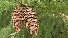 Douglas-fir cones Stock Footage